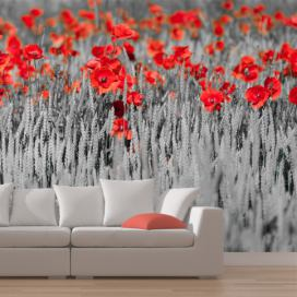Bimago Fototapeta - Red poppies on black and white background 250x193 cm